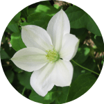 clematis curb appeal flowers