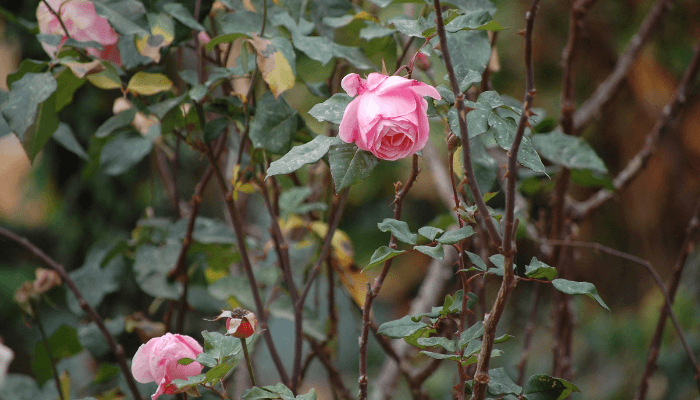 Rose bushes used to create cape cod curb appeal.
