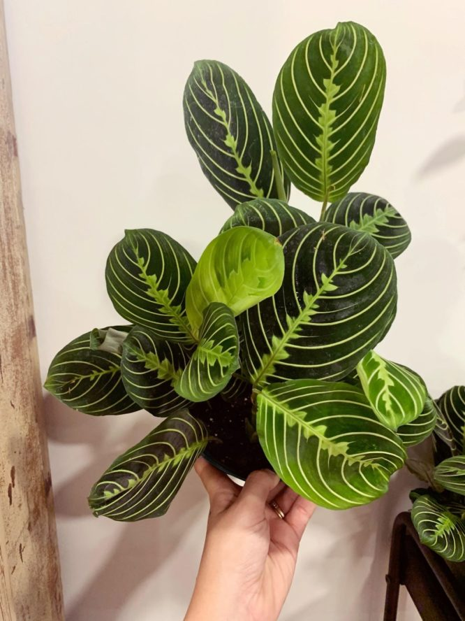 A plant that can be used indoors with low light.